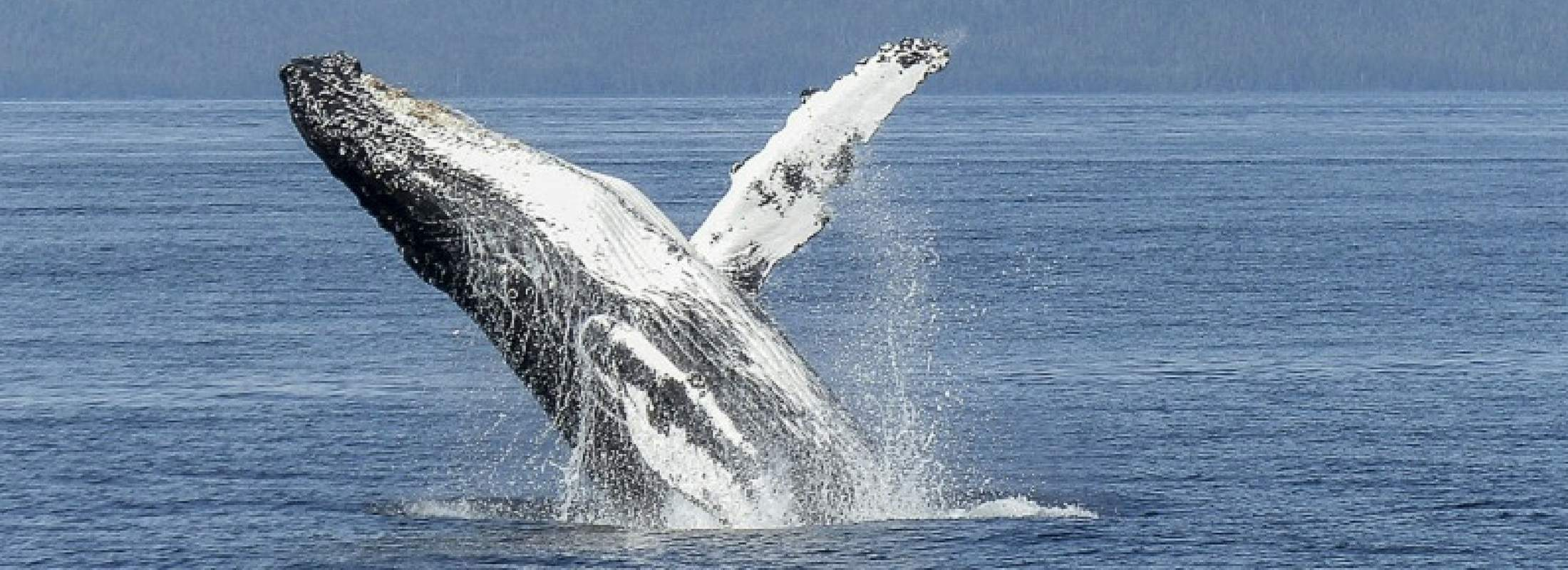 Whale breaching the ocean's surface